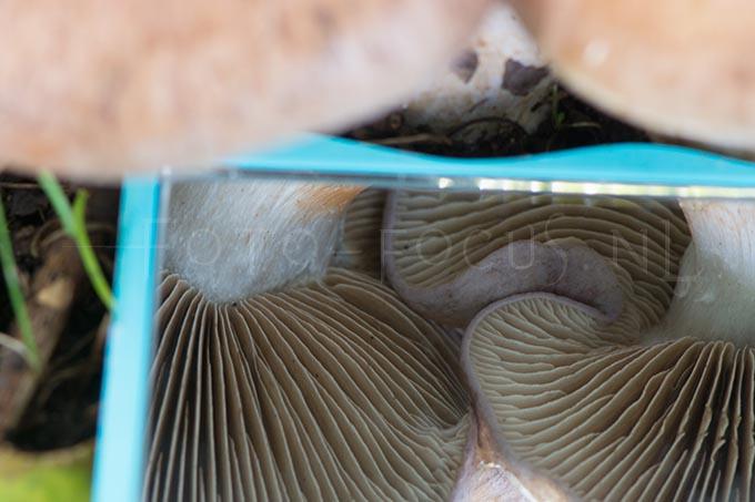 Cortinarius largus - Bruine kleibosgordijnzw.2
