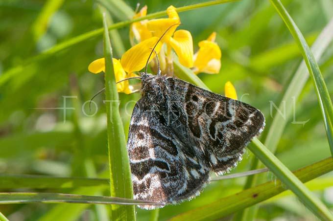 Callistege mi - Mi vlinder
