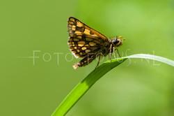 Carterocephalus palaemon - Bont dikkopje2