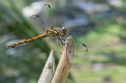 Potomarcha congener - female