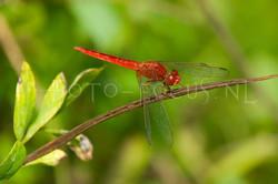 Crocothemis servilia - Oostelijke vuurlibel2- male