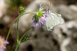 Aporia crataegi - Groot geaderd witje -C