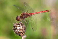 Sympetrum vulgatum - Steenrode heidelibel2 -male