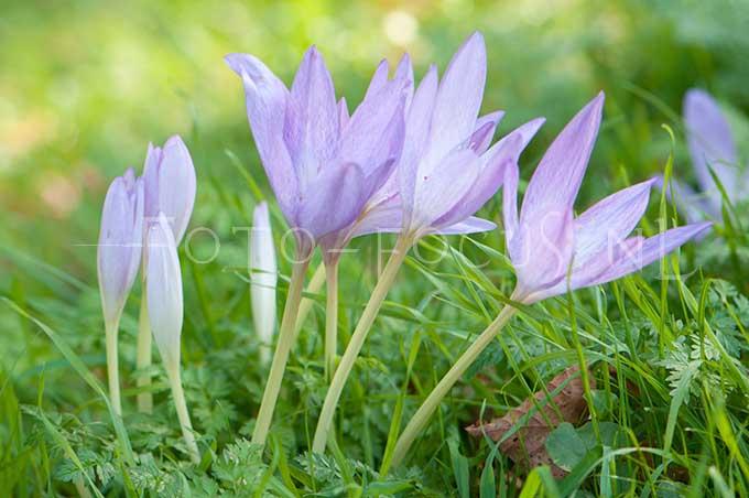 Colchicum autumnale - Herfststijloos1