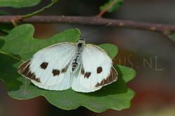 Pieris brassicae - Gr.koolwitje -female