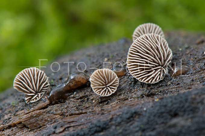 Resupinatus applicatus - Kaal dwergoortje