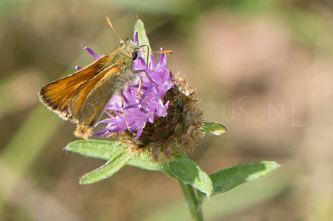 Thymelicus sylvestris2 -male