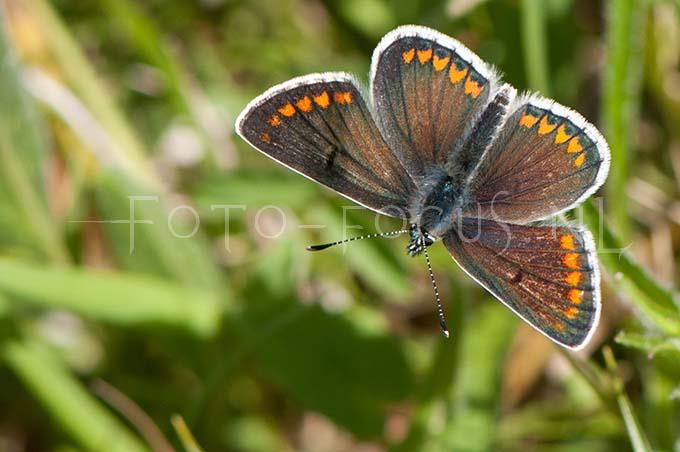 Aricia agestis - Bruin blauwtje1 -male