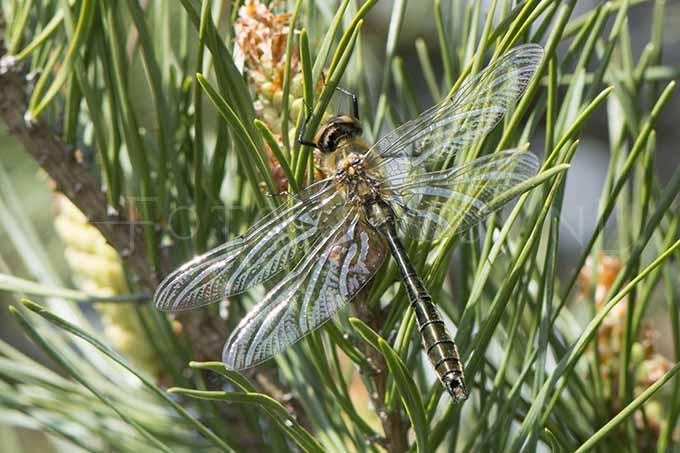 Cordulia aenea - Smaragdlibel2 -male