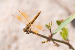 Brachithemis contaminata1- female