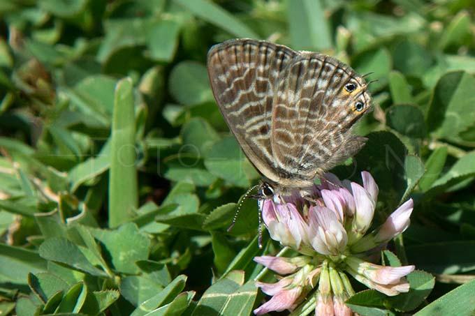 Leptotes pirithous - Klein tijgerblauwtje 1