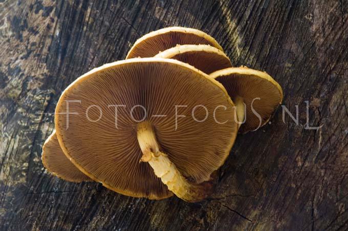 Pholiota adiposa - Goudvliesbundelzw3