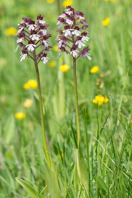 Orchis purpurea - Purperorchis 1.jpg