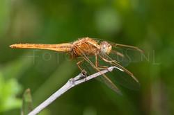 Crocothemis erythraea - Vuurlibel1- female