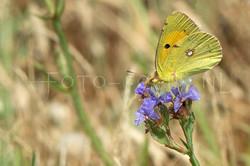 Colias erate - Oostelijke luzernevlinder1 -male