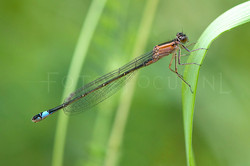 Ischnura elegans - Lantaarntje1 -female