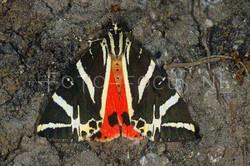 Euplagia quadripunctaria - Spaanse vlag1