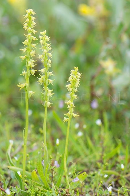 Herminium monorchis - Honingorchis1