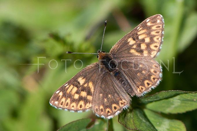 Hamearis lucina - Sleutelbloemvlinder1 -female