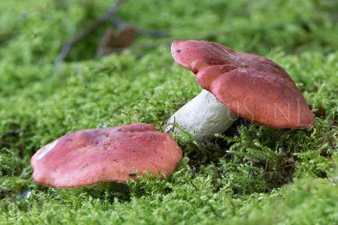 Russula lepida - Potloodrussula2