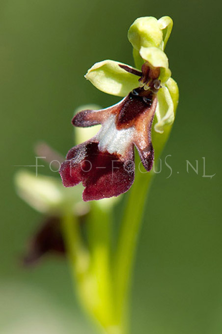 Ophrys insectifera - Vliegenorchis3