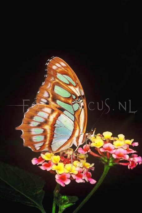 Siproeta stelenes - Malachietvlinder