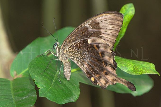 Papilio lorquinianus 2