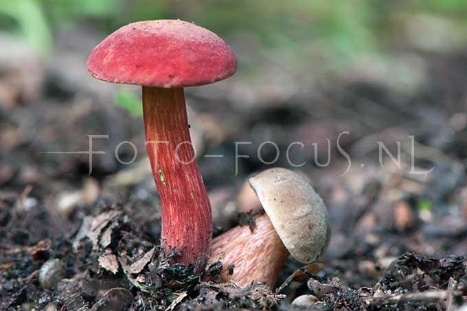 Boletus rubellus - Rode boleet