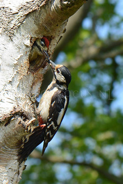 Dendrocopos major - Grote bonte specht -female