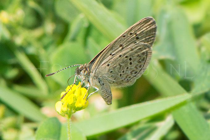 Zizeeria knysna - Ametistblauwtje3 -female