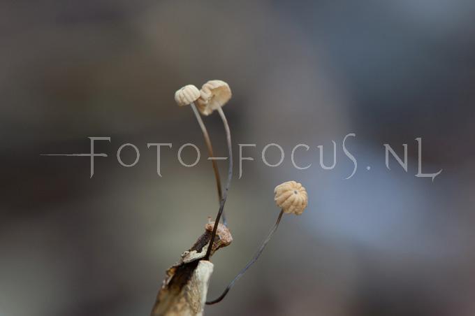 Marasmius bulliardii - Dwergwieltje