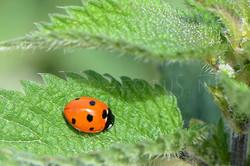 Coccinella magnifica - Bosmierlieveheersbeestje