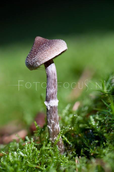Cortinarius paleifer - Paarse perlargoniumgordijnzw