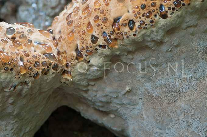 Inonotus dryadeus - Eikeweerschijnzw1