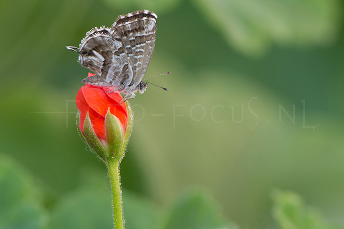 Cacyreus marshalli - Geraniumblauwtje1