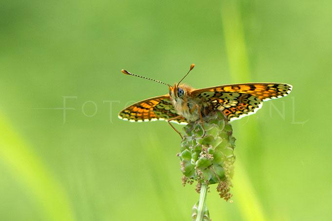 Melitaea cinxia - Veldparelmoervlinder 3