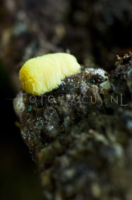 Stemonitis fusca - Gebundeld Netpluimpje1