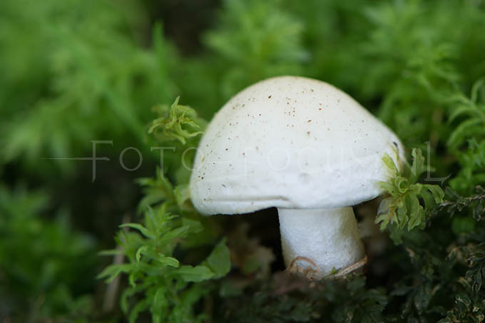 Hygrophorus eburneus - Ivoorzw1