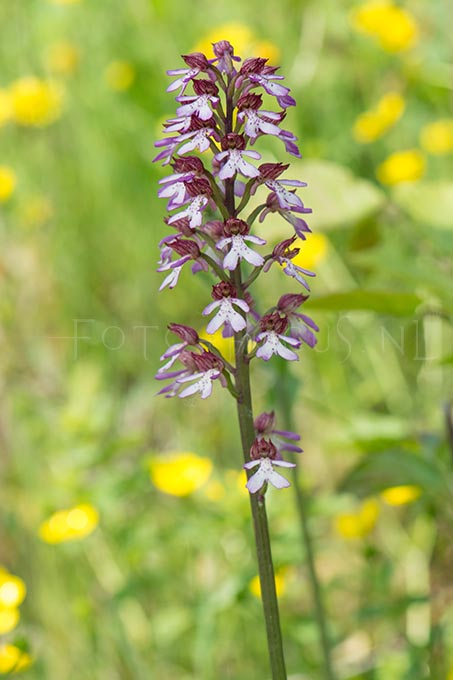 Orchis purpurea x Orchis militaris - hybride Purperorchis x Soldaatje1