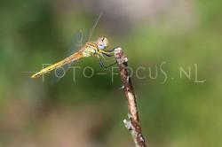 Sympetrum fonscolombii - Zwervende heidelibel1- female
