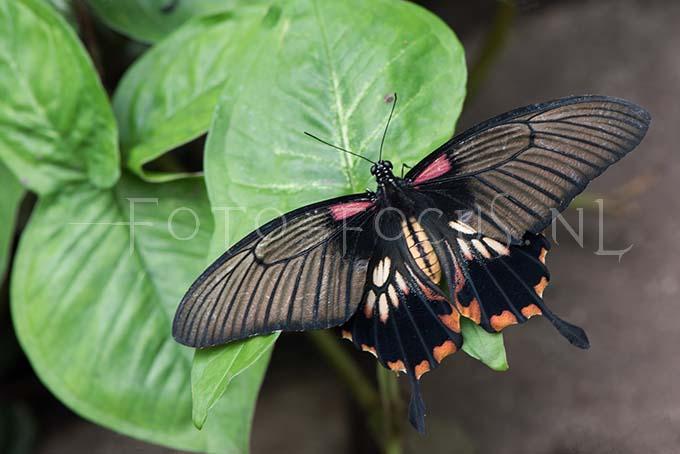 Papilio memnon1