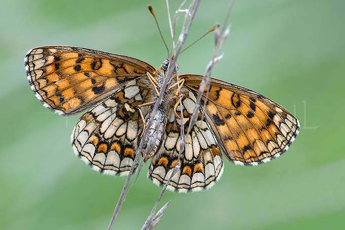 Melitaea athalia - Bosparelmoervlinder3
