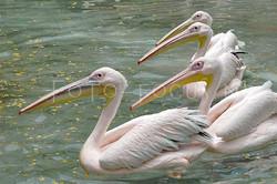 Pelecanus onocrotalus - Roze pelikaan