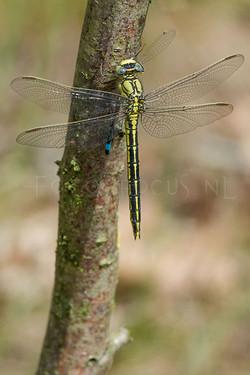 Gomphus pulchellus - Plasrombout5 - male