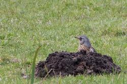 Turdus pilaris - Kramsvogel1