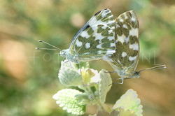 Pontia edusa - Oostelijk resedawitje4 -copula