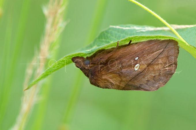 Euthrix potatoria - Rietvink -male