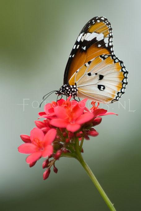 Danaus chrysippus - Kl. Monarchvlinder2