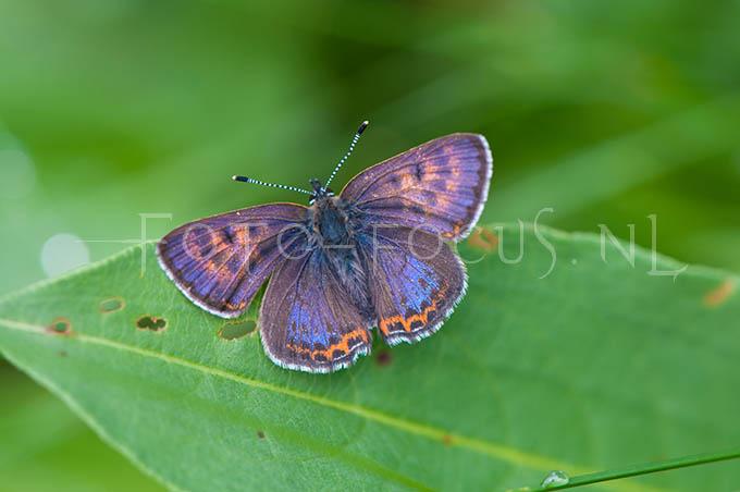 Lycaena helle - Blauwe vuurvlinder2 -male