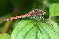 Sympetrum vulgatum - Steenrode heidelibel1 -female